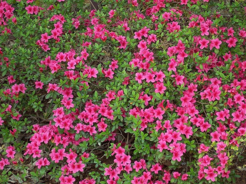Amazon Com Rhododendron Obtusum Azalea Seeds Garden Outdoor