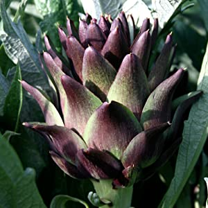 Violetta Precoce Artichoke Seeds -15+ Rare Organic Heirloom Seeds in FROZEN SEED CAPSULES for The Gardener & Rare Seeds Collector - Plant Seeds Now or Save Seeds for Years