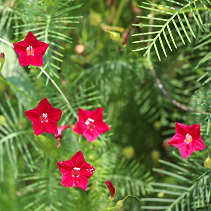 Outsidepride Red Cypress Vine Seeds - 200 Seeds on design red, pots red, flowers red, cactus red, nature red, peppers red, ornamental grasses red, mums red, berries red, orchids red, animals red,