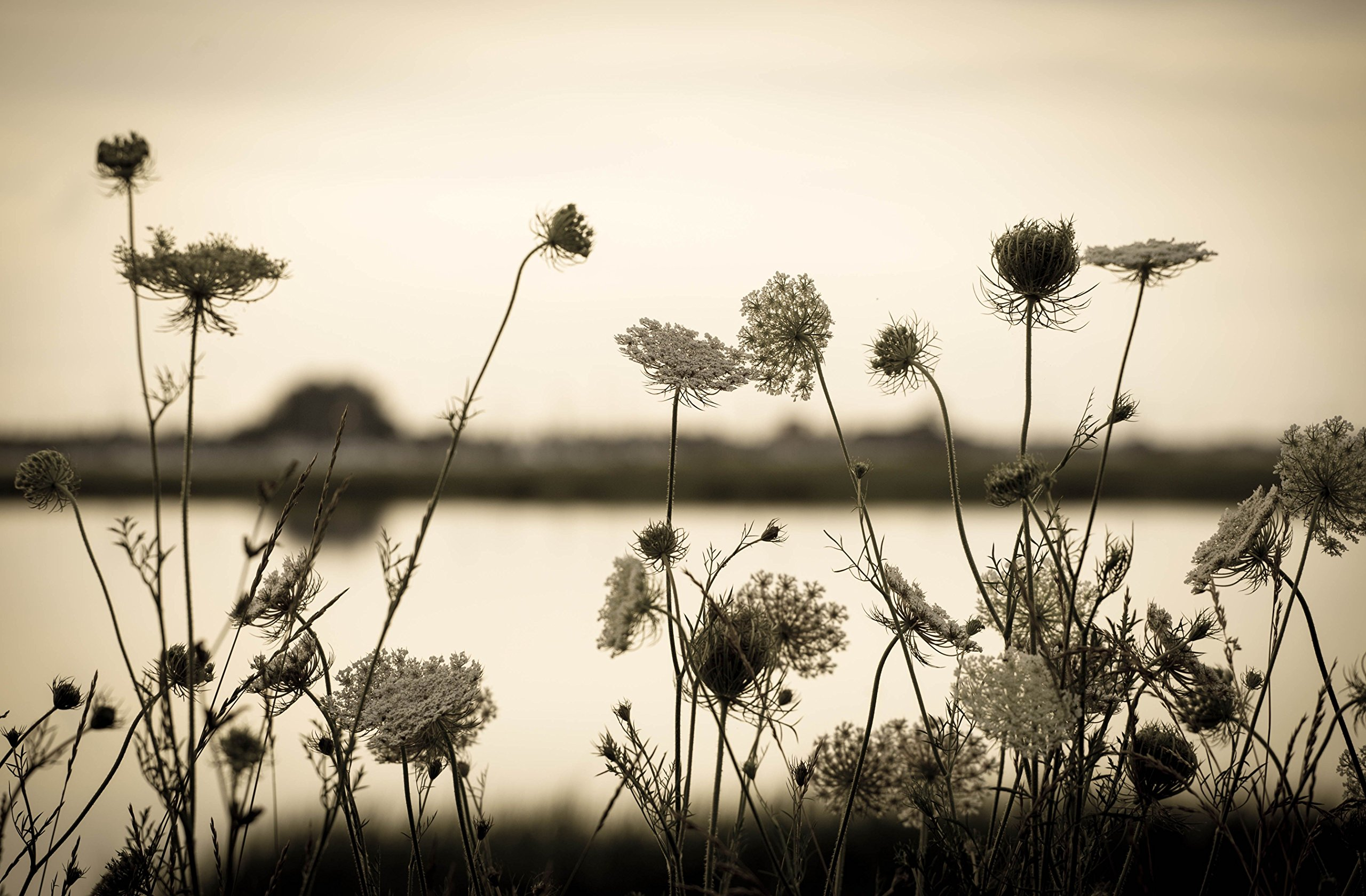 Queen Anne's Lace near the Shore by
