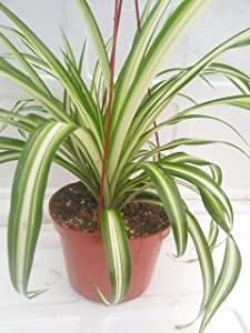 "Ocean Spider Plant Easy to Grow Cleans the Air NEW 6"" Hanging Basket From Jm Bamboo"