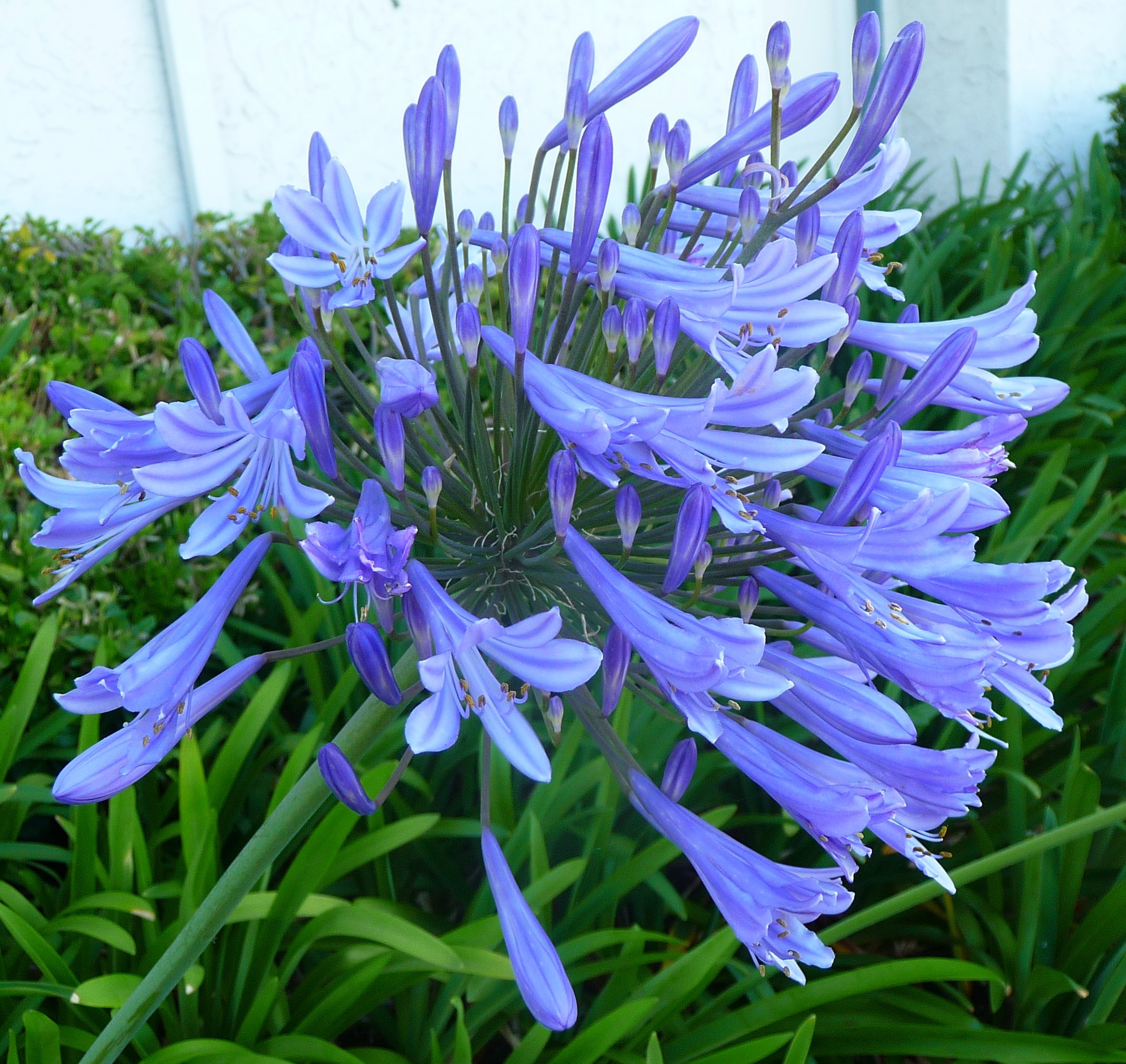 Agapanthus Africanus 'Lily of The Nile' - 20 Live Plants - 2'' Pot Size - Blooming Groundcover