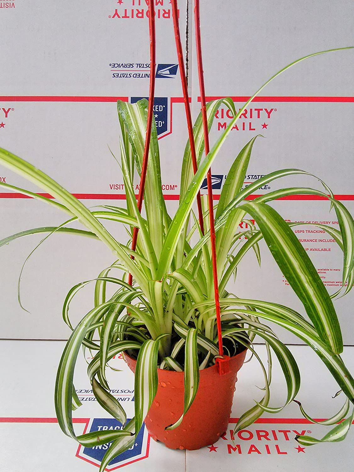 Amazon.com : Bonnie Curly Spider Plant - Easy - Cleans the Air - 4