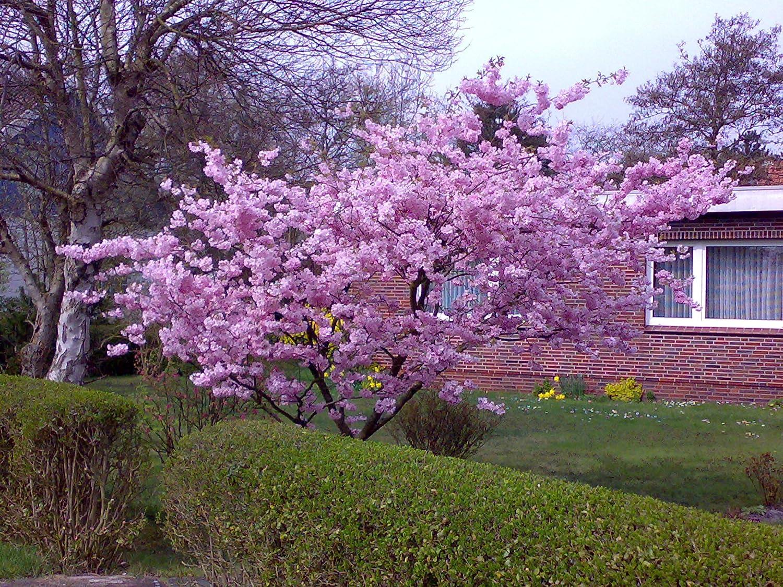 Japanische Blütenkirsche rosa blühend 1 Strauch XL Amazon Garten
