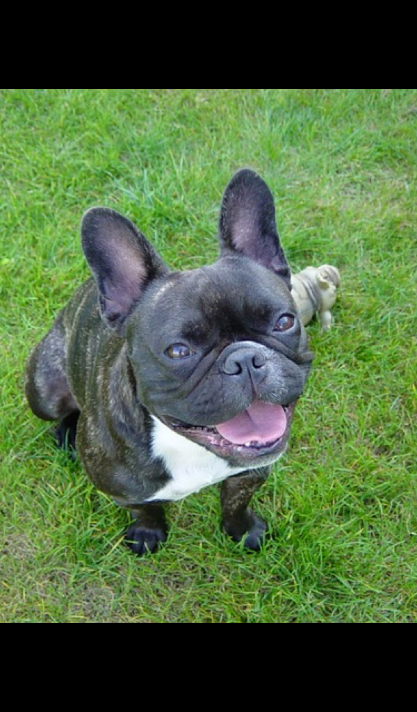 French Bulldog Wallpaper - HD Wallpapers of French ...