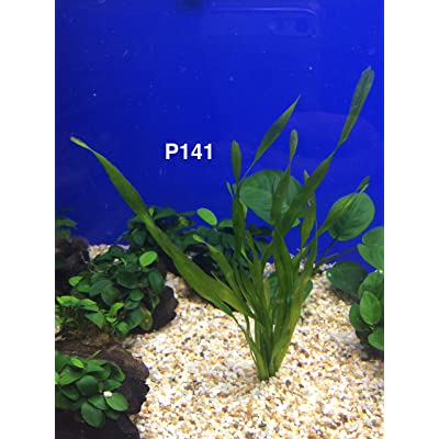 Exotic Live Aquatic Plant for Fresh Water Vallisneria asiatica Potted P141 By Jayco **BUY 2 GET 1 Free : Garden & Outdoor