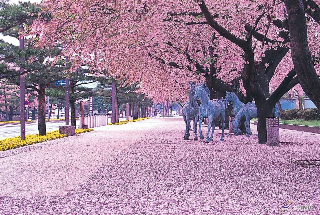KWANZAN Cherry Tree - Double Flowers 2 - Year Live Tree by Japanese Maples and Evergreens (Image #8)