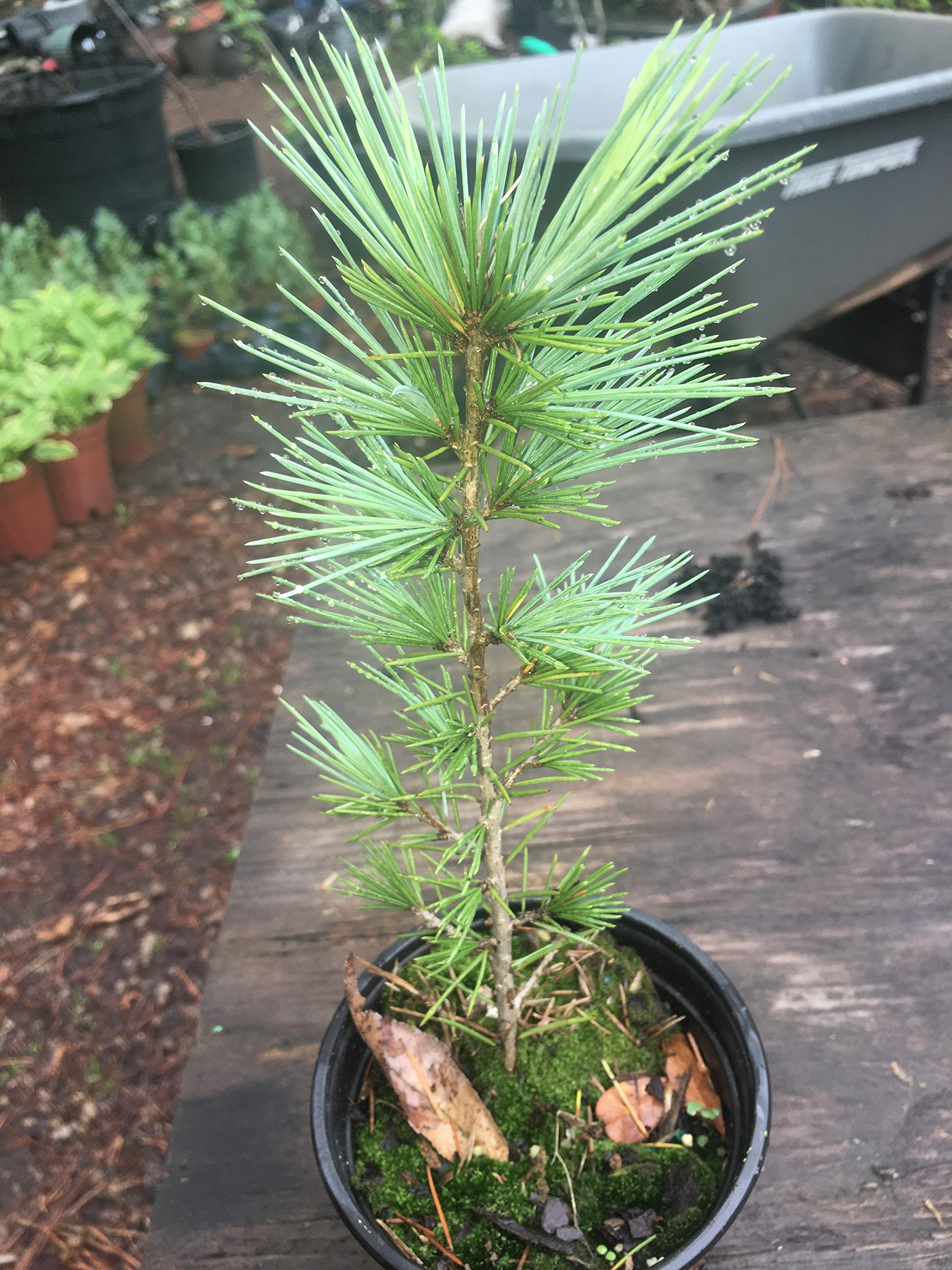 (Quart) blue deodara cedrus Electra Blue Deodar Cedar. 30 feet. Sunlight.Quart size plant shipped in plastic bag or 3'' pot.