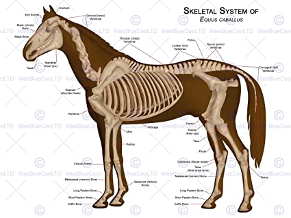 Amazon Animals Skeleton Bones Horse Anatomy 12 X 16 Inch Art