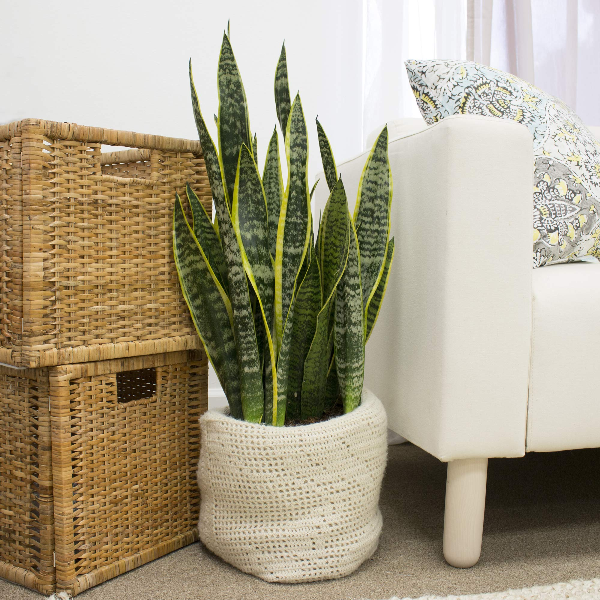 Costa Farms Sansevieria Live Indoor Snake-Plant, 8.75-Inch, in in Grower Pot by Costa Farms (Image #4)