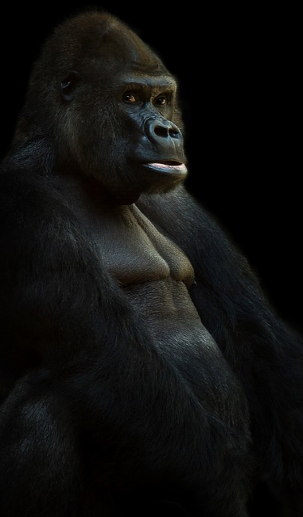 Silverback Gorilla Wallpaper Hd Wallpapers Of Silverback