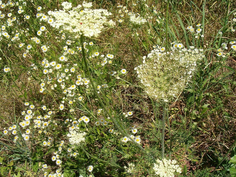 0.25g ~ 850 Seeds 50//20400 Seeds Verbena officinalis//Wild//Verbena officinalis herb