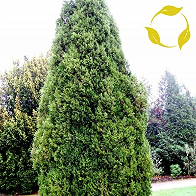 Eastern RED Cedar Juniperus Virginiana - 30+ Seeds : Garden & Outdoor