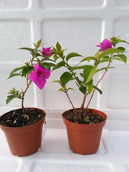 Amazoncom Two Royal Purple Bougainvillea Plant Indoorsout Or