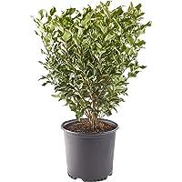 Ligustrum Recurvifolium Privet Shrub 2.25 Gal. (Green)