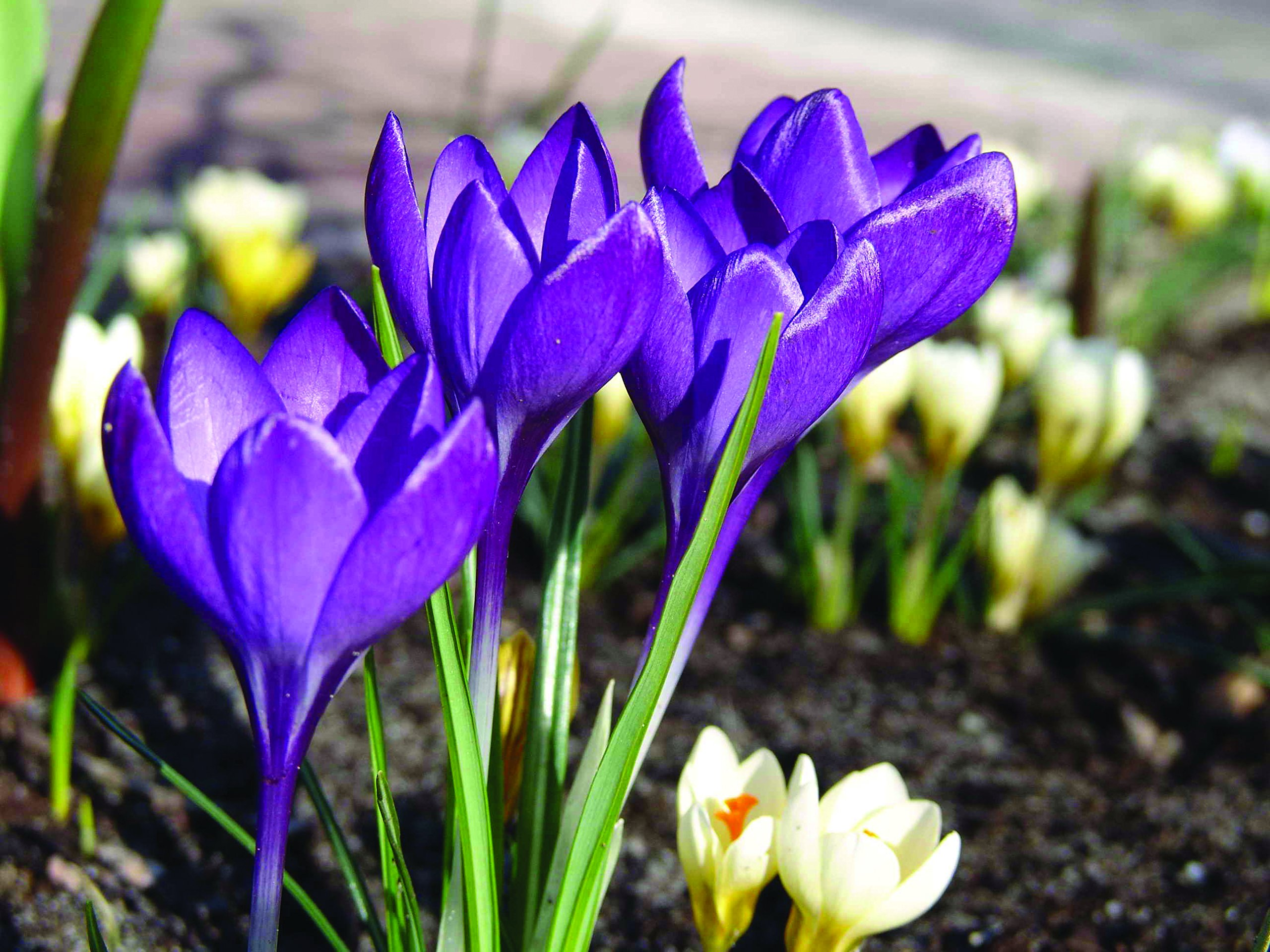 Burpee's Barr's Purple Crocus - 15 Large Flower Bulbs | 9 - 11cm Bulb Diameter