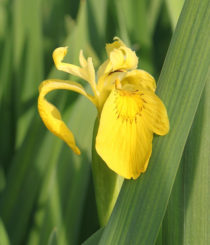 fertig im Pflanzkorb - Iris pseudacorus - winterhart - Staude des Jahres 2016 - Wasserschwertlilie - Sumpfschwertlilie, gelb - Wasserpflanzen Wolff