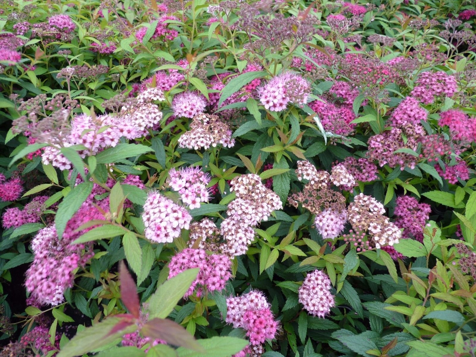 Little Princess Spirea - Established Perennial Rooted - 12 Plants in 3.5'' Pots