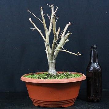 Manzano ornamental, Malus Evereste, bonsái para exterior, 13 años, altura 31 cm