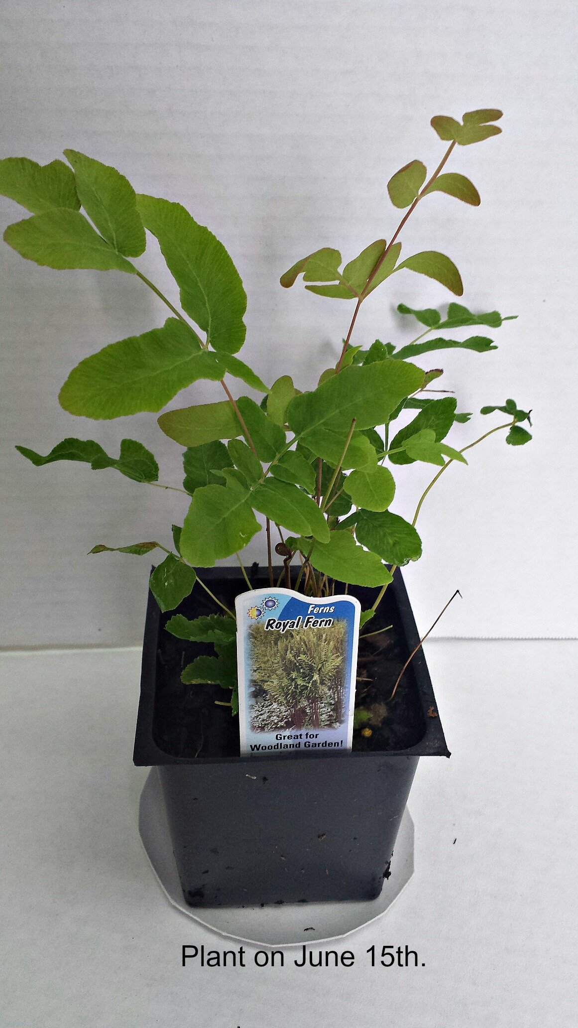 Royal Ferns Potted Plants (1 order contains 2 potted plants)