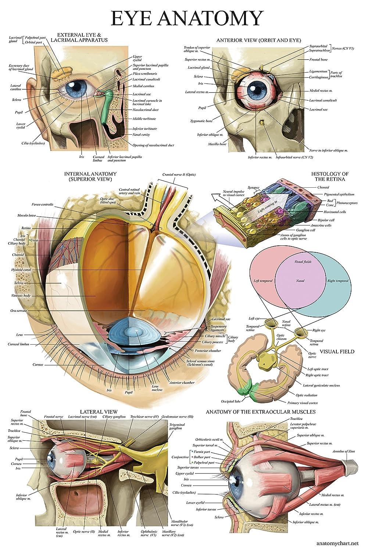 LAMINATED Eye Anatomical Poster - Human Eye Anatomy Chart - 18 x 27 Palace Learning
