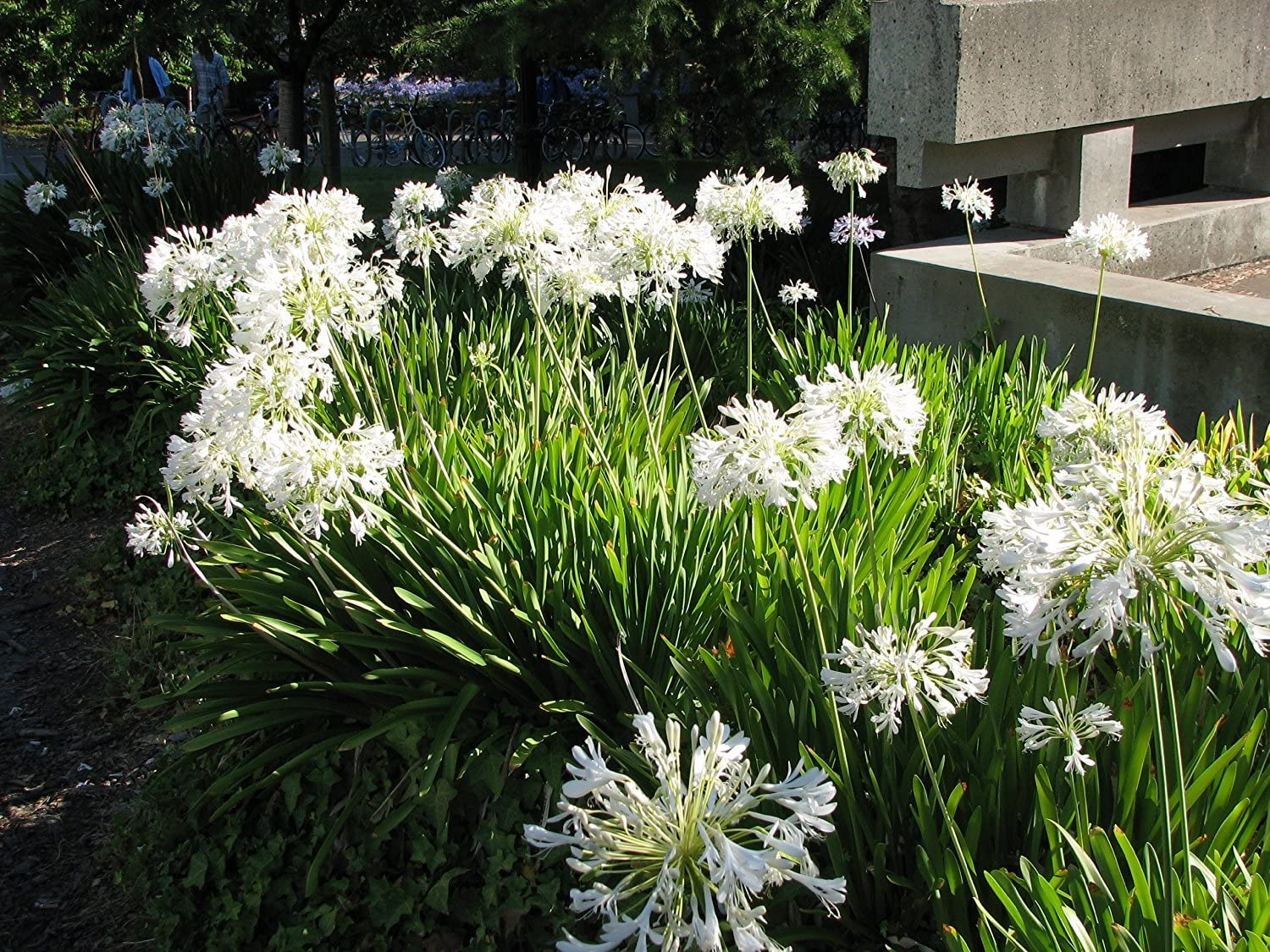 Amazon Com Agapanthus Getty White 3 Live Bare Root Plants