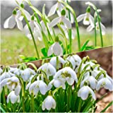 50 SINGLE & 50 DOUBLE SNOWDROP BULBS (IN THE GREEN) Top Quality Freshly-Lifted Bulbs, (SPECIAL OFFER) For A Limited Time Only Don't Miss Out!! (100 Bulbs Ready To Plant)