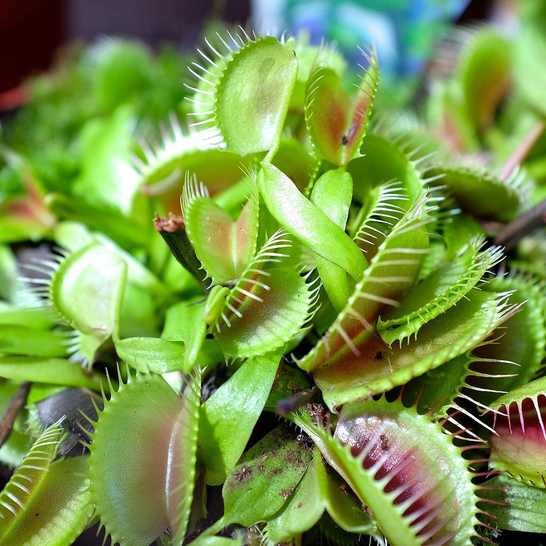 VENUS FLYTRAP Carnivorous plant seeds 10 SEEDS Dionaea muscipula