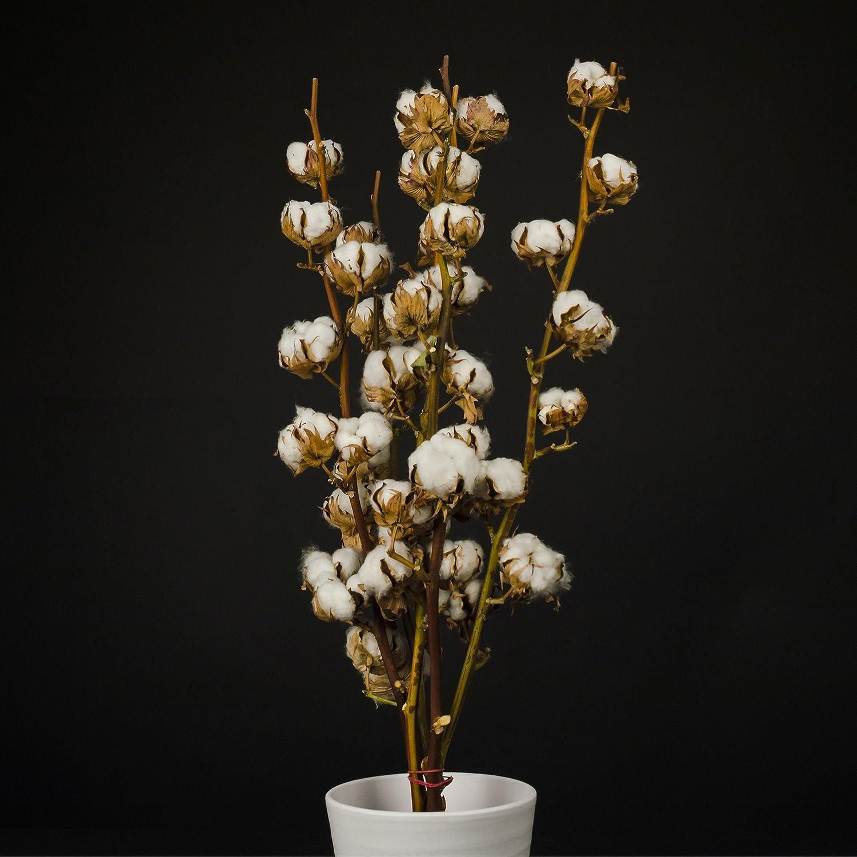 Inter Flower 5 auténtico Ramas Algodón 5-7 Flores disecadas, 60 cm muy vida útil larga, natural de bueno adecuado como decoración, Florística, para manualidades/Como popular fair trade alta calidad: Amazon.es: Jardín