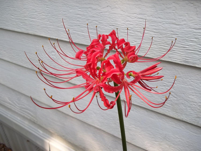Amazon 10 red spider lily flowering plants garden outdoor izmirmasajfo