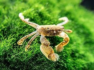 Aquatic Arts 5 Live Freshwater Pom Pom Crabs | Real Living Nano Aquarium Fish Tank Pet | Betta/Danio/ Rasbora/ Guppy Compatible