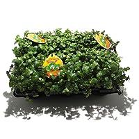 Golliwoog (Callisia repens) - Futterpflanze für Bartagamen, Vögel, Meerschweinchen, ect.