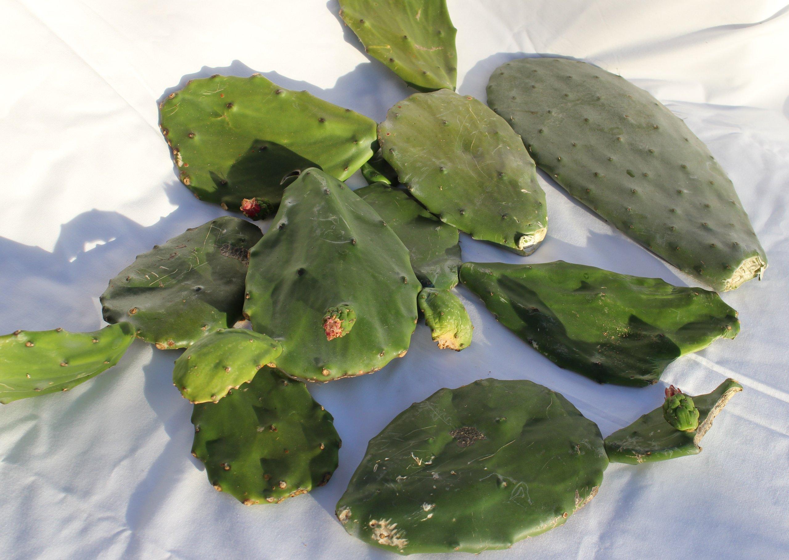 Jiimz Nopales Opuntia Cactus succulent Cuttings 6 pounds reptile food