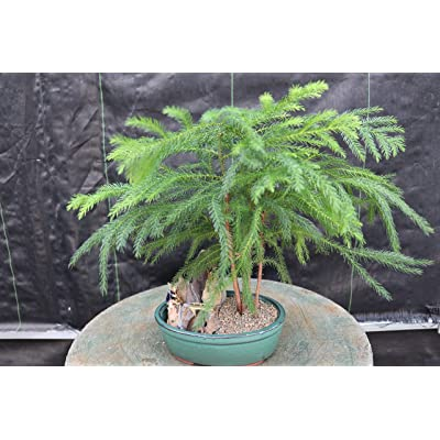 Norfolk Island Pine Bonsai Tree: Garden & Outdoor