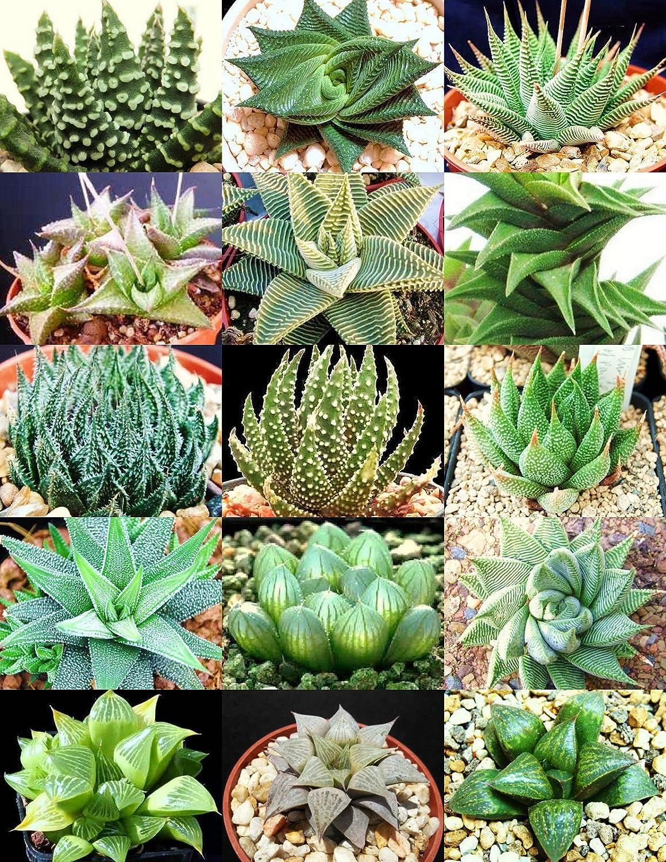 Haworthia retusa hybrid variegate,10 fresh seed 2020 Set No.E30