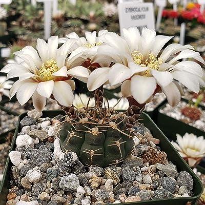 Gymnocalycium shroederianum longispinum Cactus Cacti Succulent Real Live Plant : Garden & Outdoor
