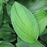Hosta x fortunei 'Albopicta' - Funkie, Hosta x fortunei 'Aureomaculata' - Herzblattlilie, im 1,0 Liter Topf, violett blühend