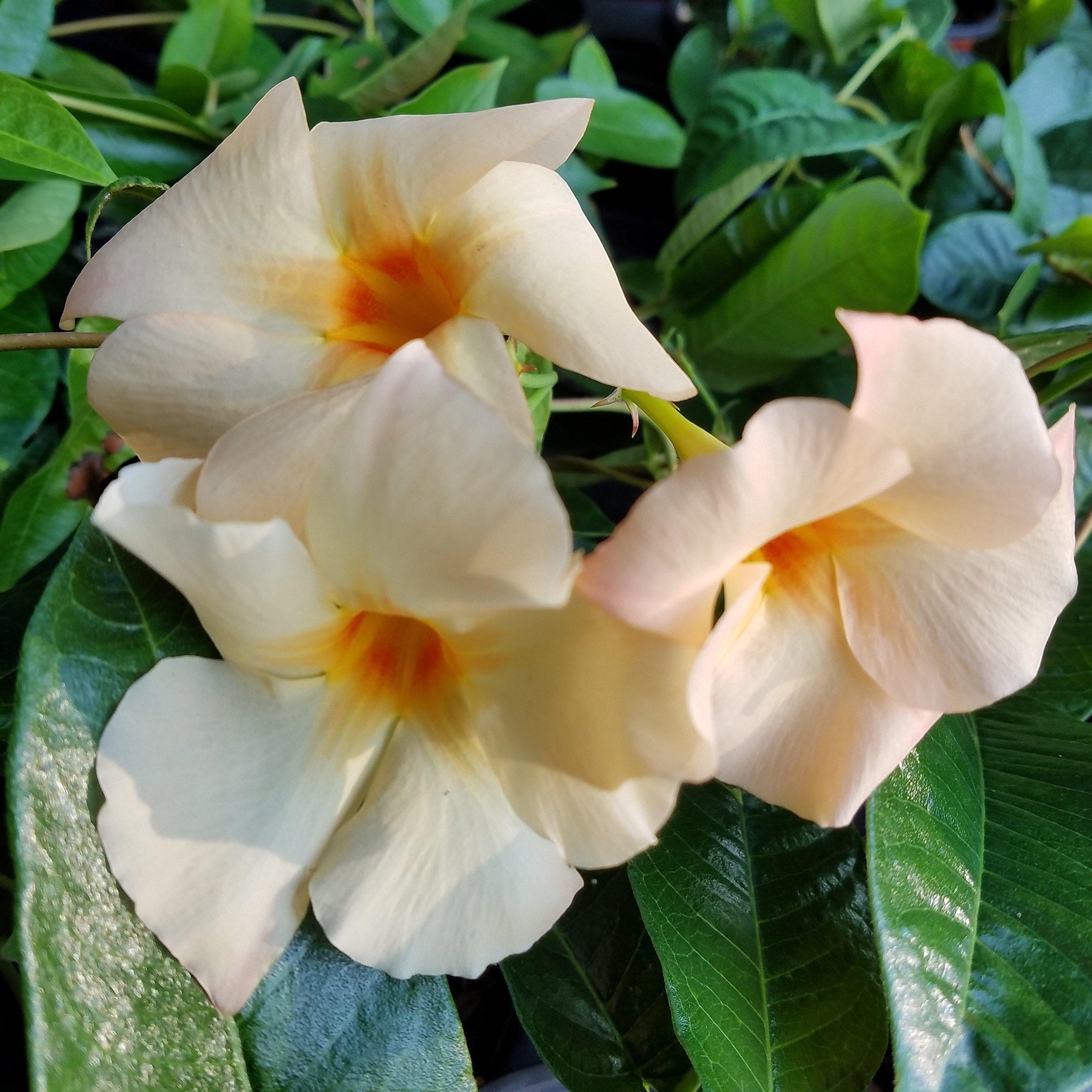 Sandys Nursery Online Mandevilla Apricot ~Lot of 2 ~ Starter Plants by Sandys Nursery Online (Image #2)