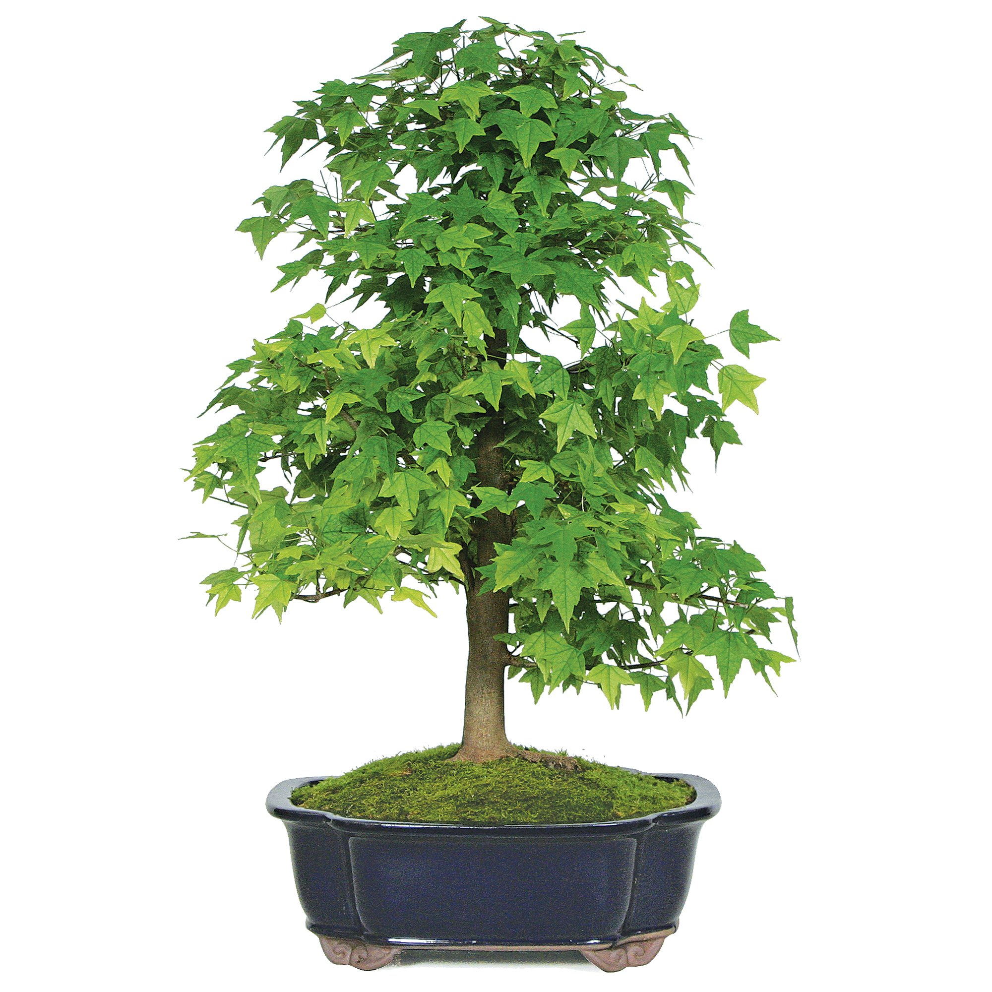 Brussel's Bonsai DT6212TM Acer buergerianum Indoor Bonsai, X Large, Trident Maple by Brussel's Bonsai