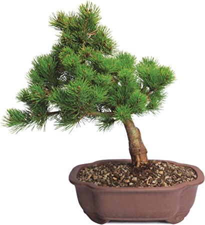 10 eastern white pine tree seedlings fresh green at least 12 inches tall