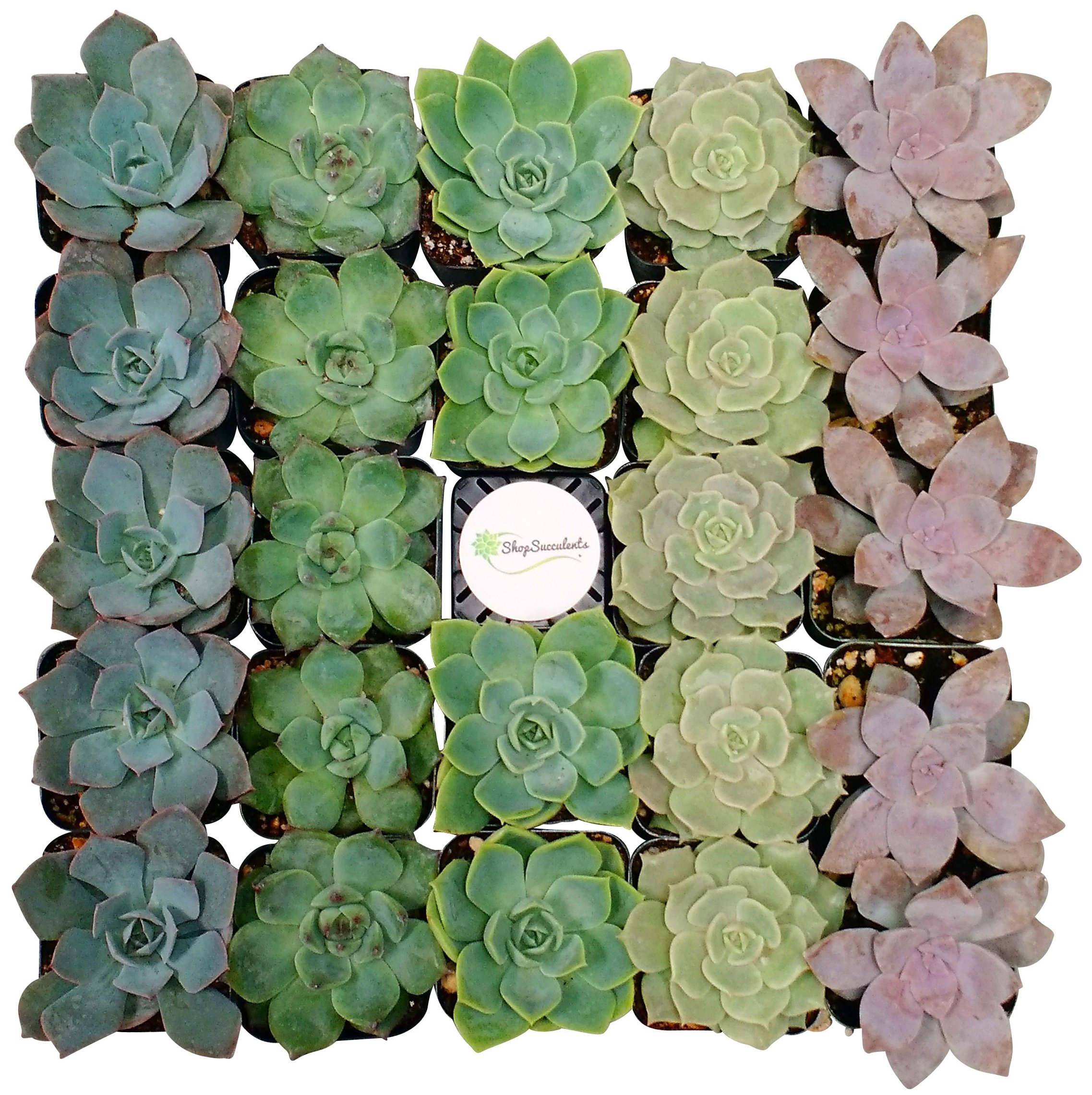 Shop Succulents Rosette Succulent (Collection of 100) by Shop Succulents