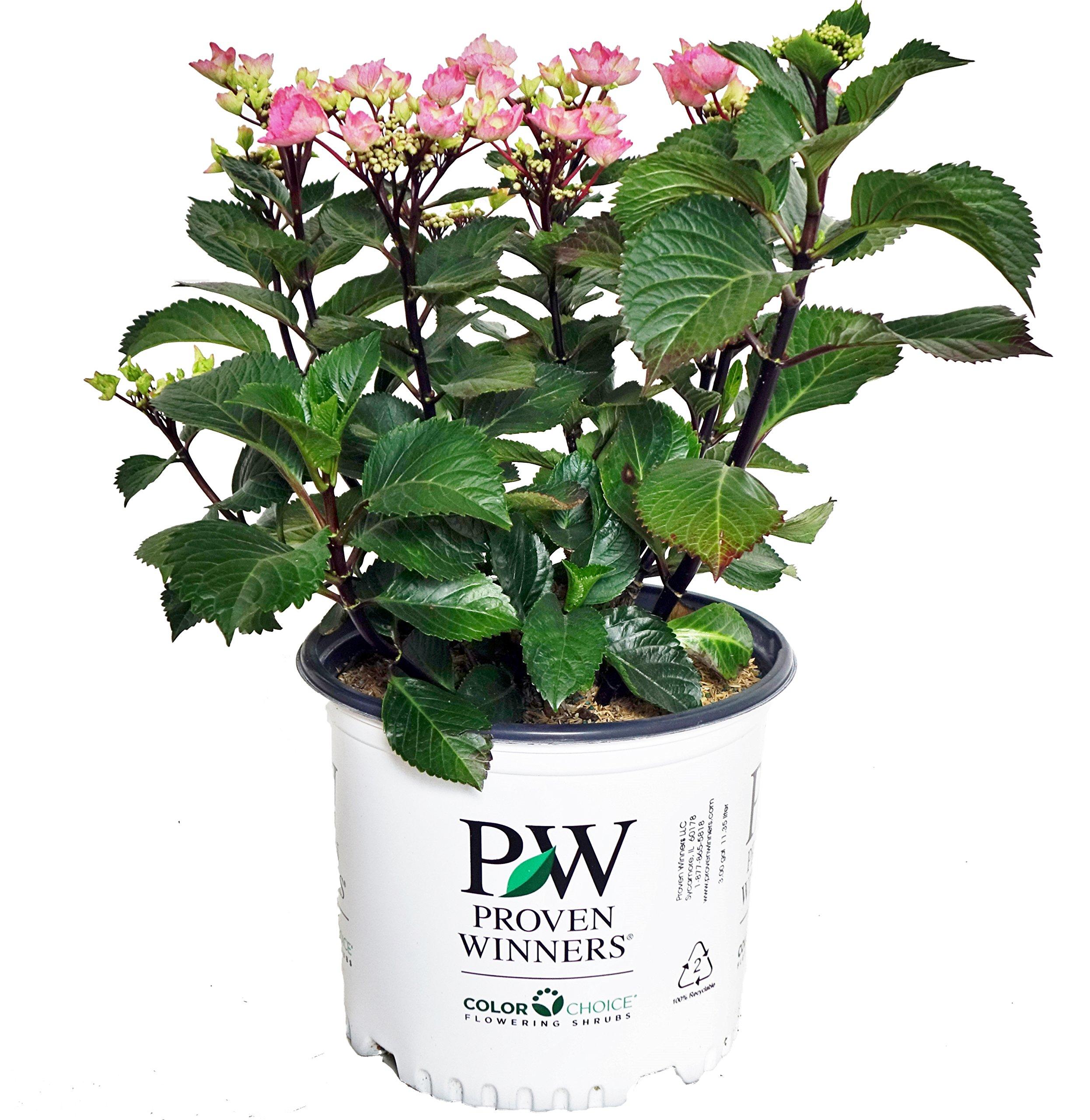 Proven Winners - Hydrangea mac. Abracadabra  Star (Bigleaf Hydrangea) Shrub, black stems with pink or blue flowers, #3 - Size Container