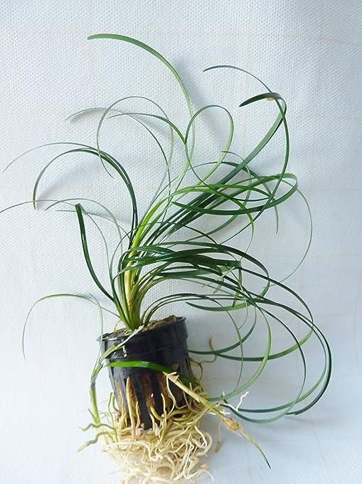 Ophiopogon japonica - Plantas naturales para acuarios