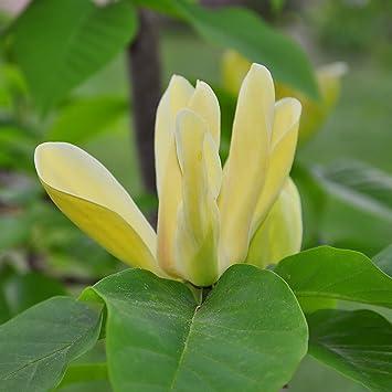 Yougarden Magnolia Yellow Bird Half Standard Tree Bare Root