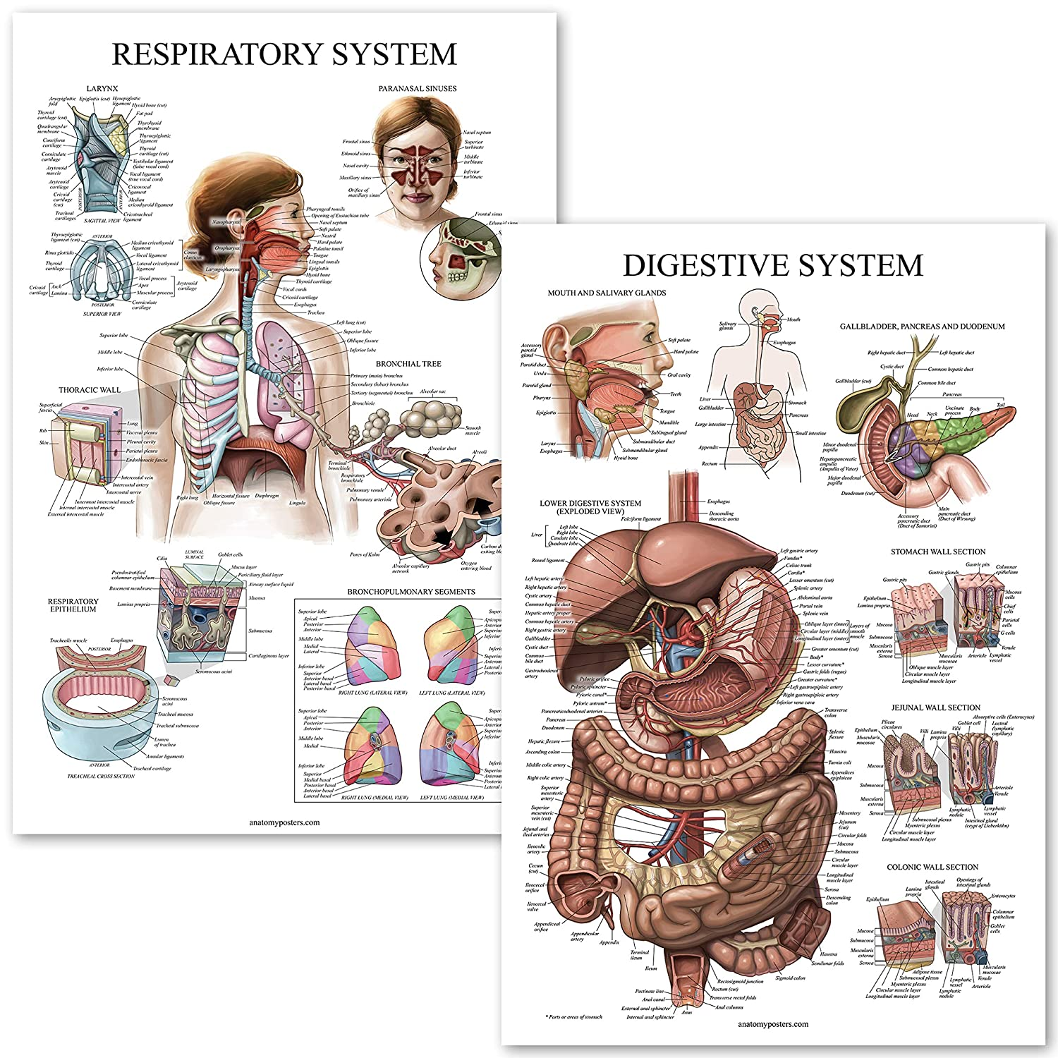 Digestive System Respiratory System Anatomy Posters Laminated 2