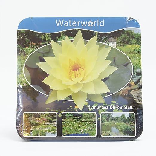 Inter Flower/ estanque Plantas Paquete de agua Planta Completo /Encaje Ahora seerosse Amarillo