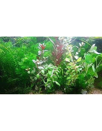 Amazon.es: Plantas para acuarios - Decoración para acuarios ...
