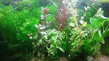Aqua Plants 40 Plantas de Acuario en Vivo colección de Plantas ...