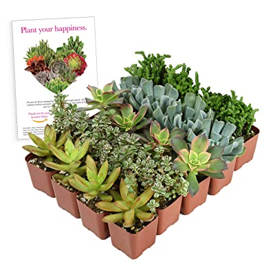 """Altman Plants Assorted Live 2 Inch Small Collection Home Decor Container Variety of Succulent Gardens, Mother's Day, 2"""", 20 Pack: Garden & Outdoor"""
