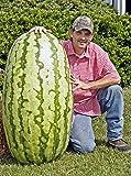 CATTERPILLAR FARM® Giant American Watermelon Seeds Delicious Summer Fruit Water Melon 10 Seeds